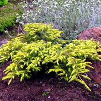 Можжевельник обыкновенный Депресса Ауреа Juniperus communis Depressa Aurea цена за 10 саженцев