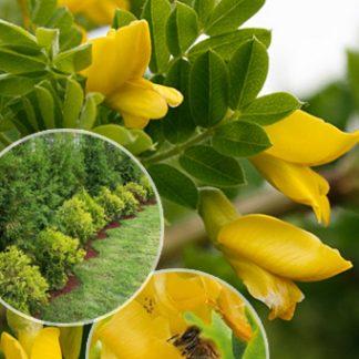 Акація жовта кущова 'Lorbergii' Caragana arborescens Lorbergii