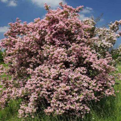Кольквіція приємна Пінк Клауд  Kolkwitzia amabilis Pink Cloud
