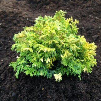 Кипарисовик горохоплідний Нана Ауреоварієгата Chamaecyparis pisifera Nana Aureovariegata