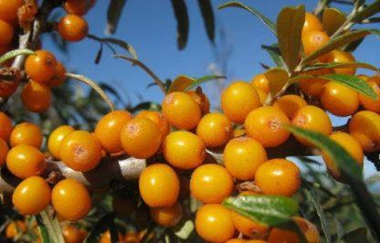 Обліпіха  Friesdorfer Orange Hippophaë rhamnoides Friesdorfer Orange