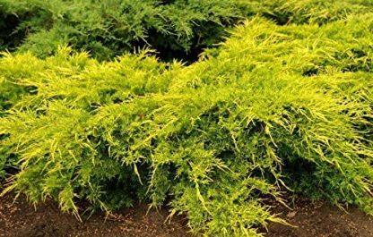 Можжевельник средний или пфитцириана Голд Кост Juniperus x media Gold Coast  цена за 10 саженцев