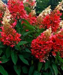Гортензія метельчата Пінкі Вінкі Hydrangea paniculata Pinky Winky