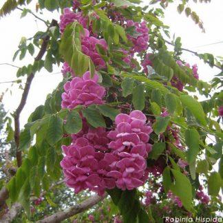 Розова кущова акація Robinia hispida