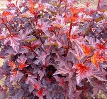 Пухироплідник калинолистий Саммер Вайн  Physocarpus opulifolius Summer Wine