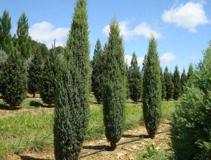 Можжевельник обыкновенный Суецика Juniperus communis Suecica цена за 10 саженцев