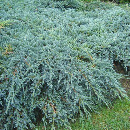 Новинка! МОЖЖЕВЕЛЬНИК ЧЕШУЙЧАТЫЙ 'Хунэторп'  Juniperus squamata 'Hunnetorp' цена за 10 саженцев