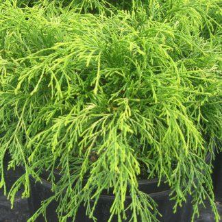Кипарисовик горохоплідний Голд шпангл Chamaecyparis pisifera 'Gold Spangle'