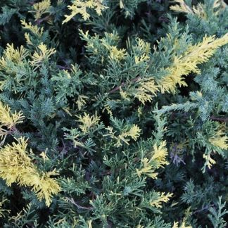 Ялівець китайський Експанза варієгата Juniperus chinensis Expansa Variegata