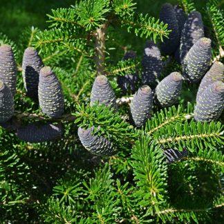 Саджанці хвойних рослин