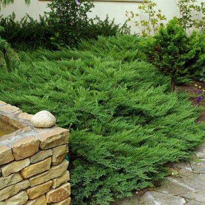 Можжевельник казацкий Тамарисцифолия Juniperus sabina Tamariscifolia цена за 10 саженцев