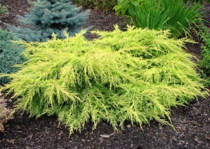 Можжевельник средний Пфитцериана Ауреа Juniperus x-media Pfitzeriana Aurea цена за 10 шт
