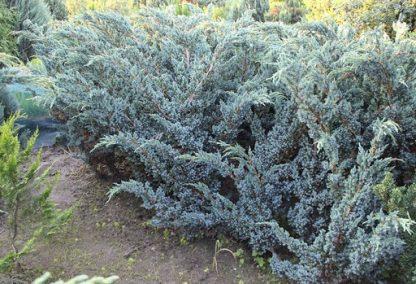 Можжевельник чешуйчатый Мейери Juniperus squamata Meyeri цена за 10 саженцев