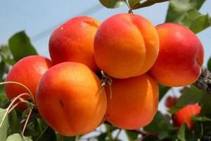 Персик колоновидний Медовий