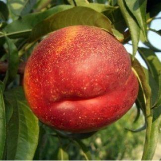 Персик нектарин колоновидний Роман