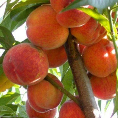 Персик колоновидний Балконелла