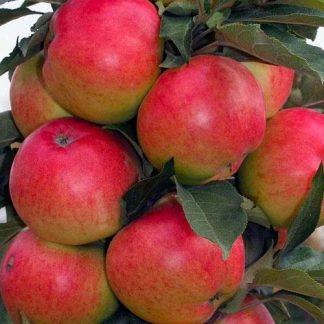 Яблоня колоновидна сорт Патріот