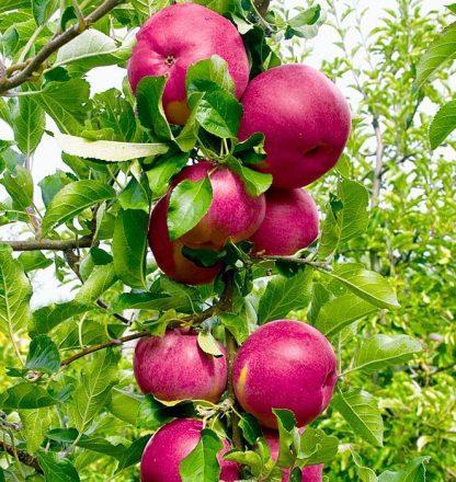 Яблоня колоновидна Джина