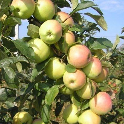 Яблоня колоновидна Болеро