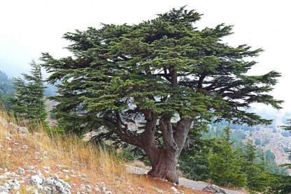 Кедр ліванський  Cedrus libani
