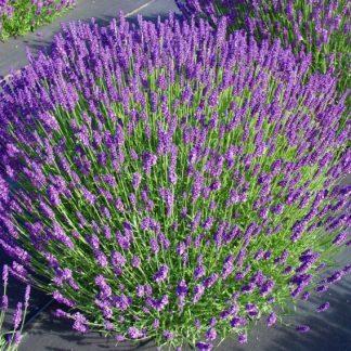 Лаванда вузьколиста Кримська Lavandula angustifolia Mill.