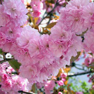 """Сакура «Kanzan» Prunus serrulata """"Kanzan"""""""