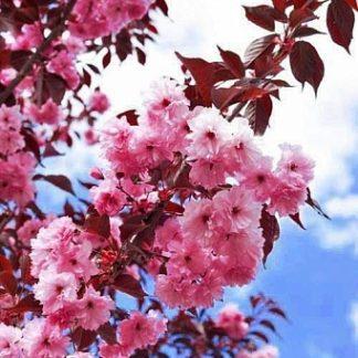 Сакура Роял Бургунді  Prunus serrulata Royal Burgundy