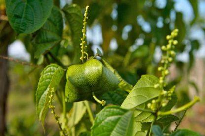 Плукенетія  Інка Інчі (Plukenetia volubilis)