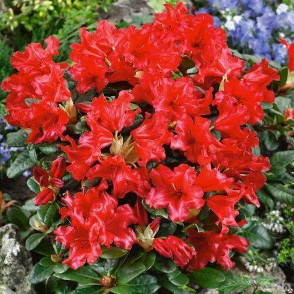 """Рододендрон """"Скарлет Вондер""""   Rhododendron repens  """"Scarlet Wonder"""""""