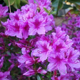 "Азалія японська ""Блю Данубе"" Rhododendron Azalea japonica Blue Danube"