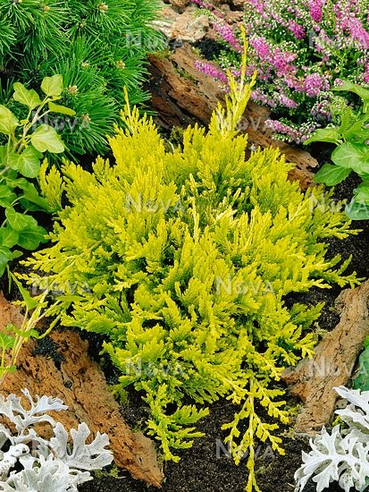 Можжевельник горизонтальный Мозер Лод  Juniperus horizontalis Mother Lode цена за 1 саженец в горшке р9