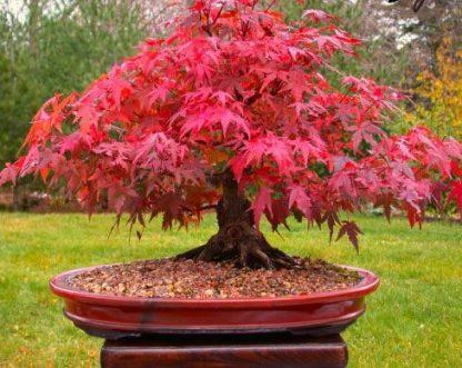 Клен пальмолистий Атропорпуреум  Acer palmatum Atropurpureum