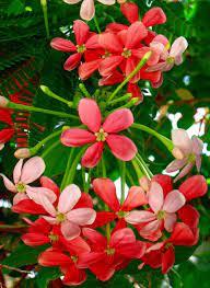 Квіскваліс індійський (Quisqualis indica)