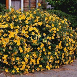 """Звіробій декоративний «Hidcote Gold» Hypericum  hidcoteense 'Hidcote Gold"""""""