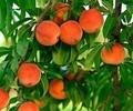 персик – 120х