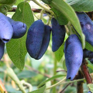 Жимолость съедобная Голубое веретено Lonicera edulis Goluboe vereteno цена за 1 саженец