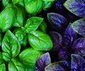 28-пряні та лікарські рослини – 120х