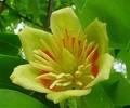 33-тюльпанове дерево – 120х