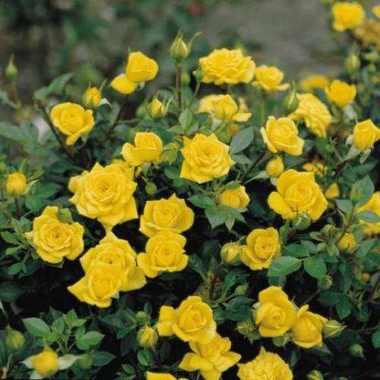 Троянда чайно-гібридна Ландора