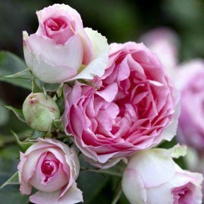 Троянда плетиста Пьєр де Ронсар