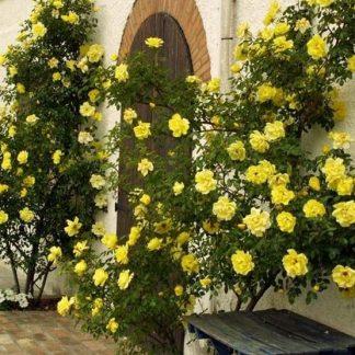Троянда плетиста Голден Шауерс