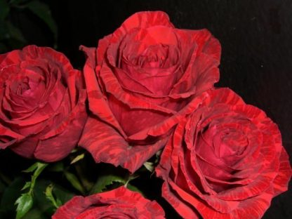Чайно-гібридна троянда Red Intuition
