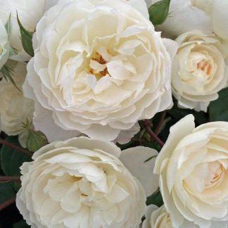 Троянда англійська Біла сенсація