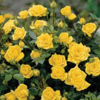 Троянда чайно-гібридна Сан Сіті