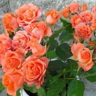 Троянда карликова Оранж бебі