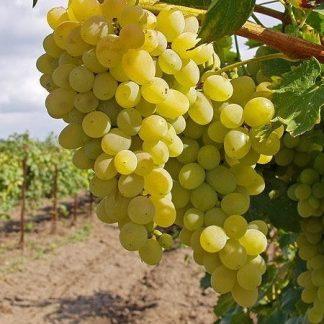 Виноград  Мускат золотистий