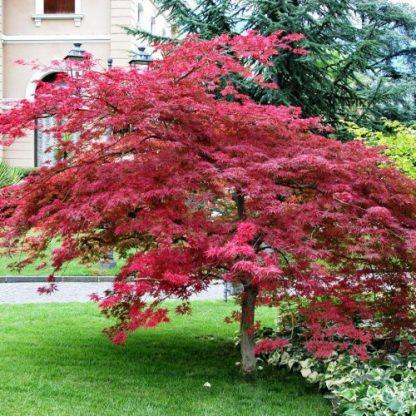 Клен віяловий Гарнет Acer palmatum dissectum 'Garnet'