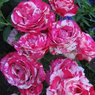 Троянда чайно-гібридна Сантіментал