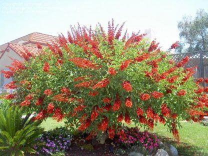 Єретрина індійська( коралове дерево) Erythrina indica