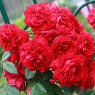 Троянда плетиста Сансет